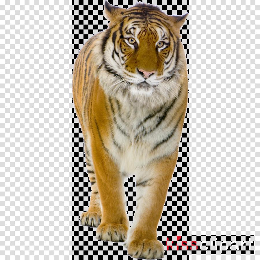 tiger bengal tiger siberian tiger wildlife whiskers