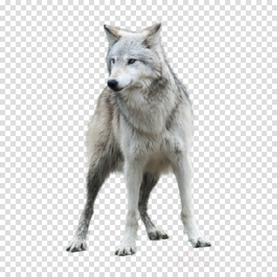 wildlife wolf coyote fur arctic fox