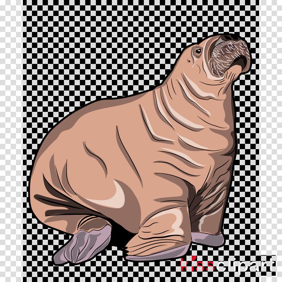 seal california sea lion steller sea lion walrus marine mammal