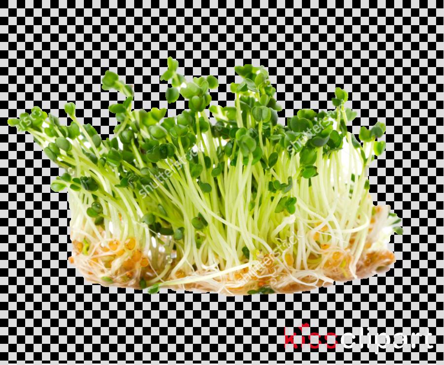 vegetable food leaf vegetable alfalfa sprouts plant
