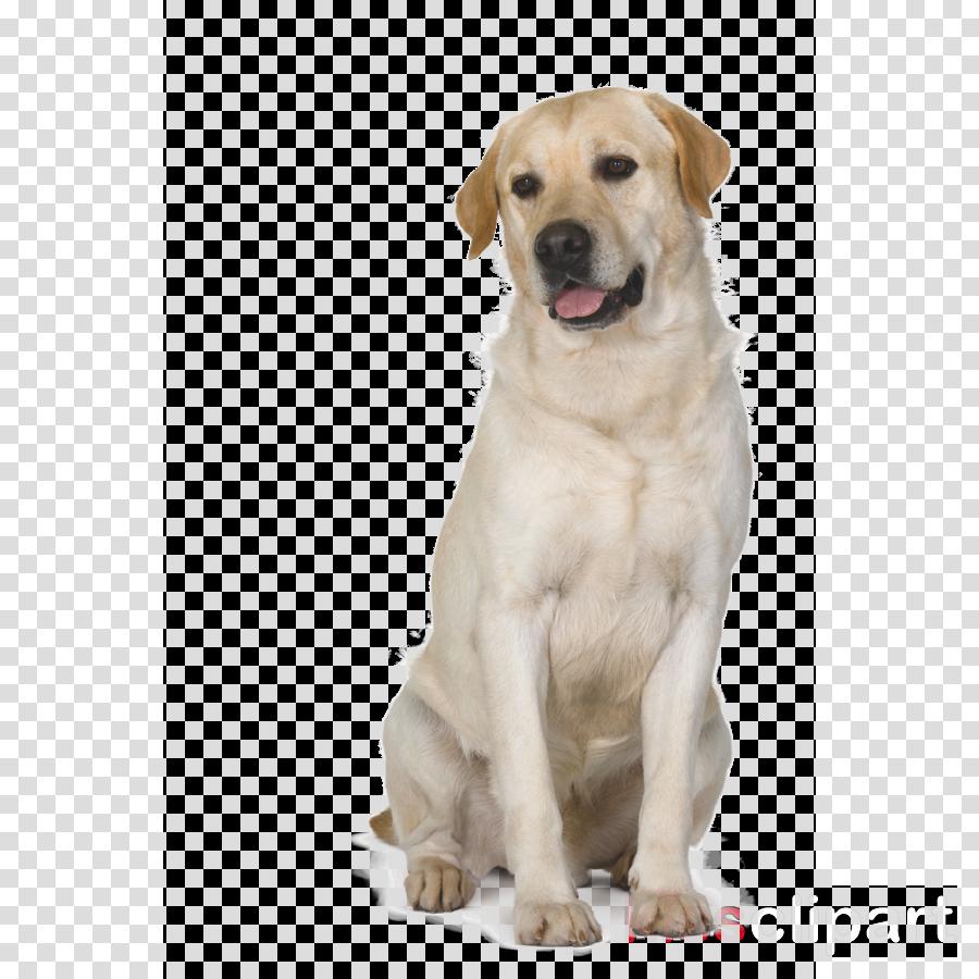 dog dog breed labrador retriever retriever sporting group