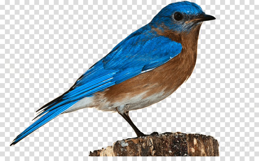 Bluebird Clip Art