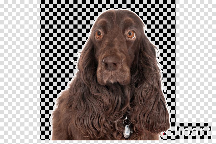 dog dog breed spaniel boykin spaniel german spaniel