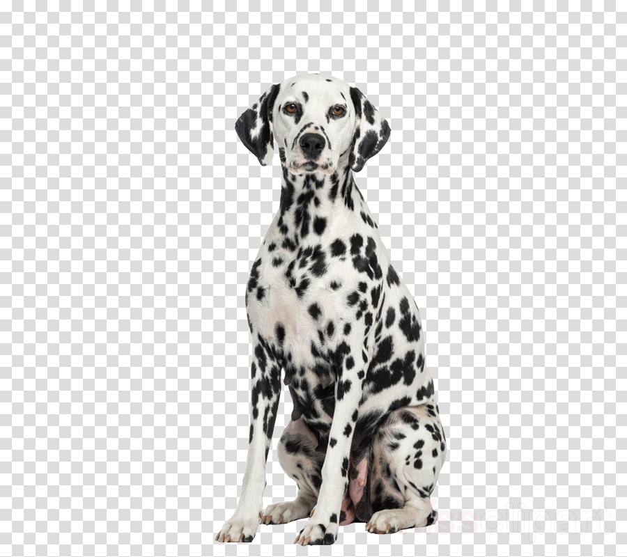 dog dalmatian dog breed non-sporting group snout
