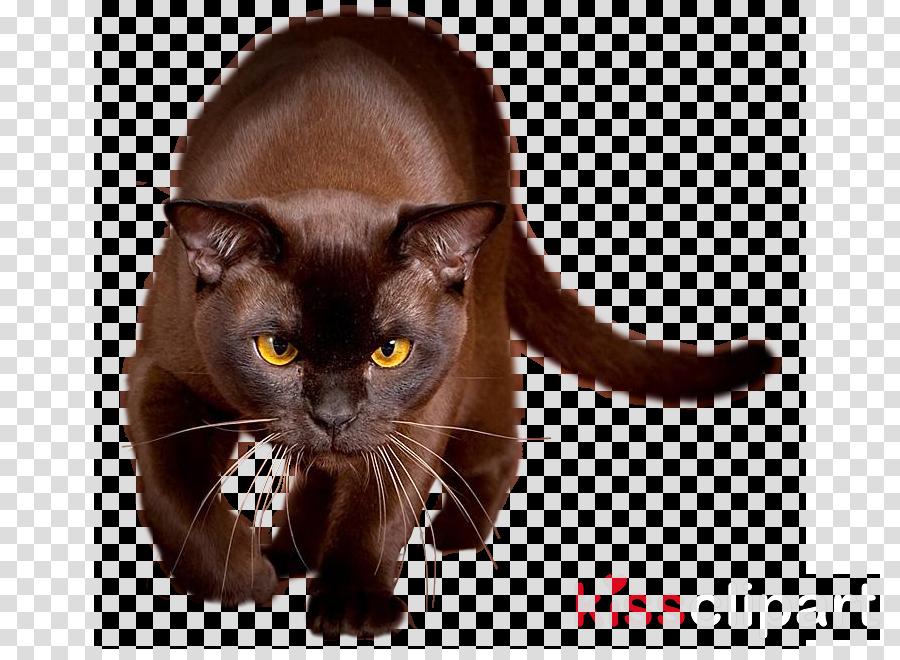 cat small to medium-sized cats black cat bombay burmese