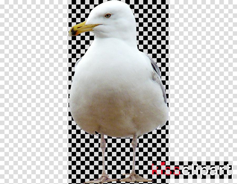 bird beak gull european herring gull seabird