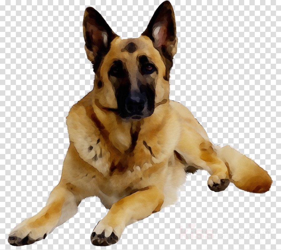 dog dog breed german shepherd dog police dog old german shepherd dog