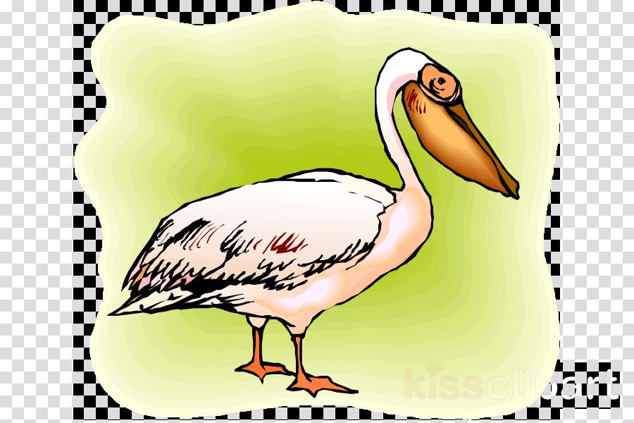 bird beak pelican pelecaniformes white pelican