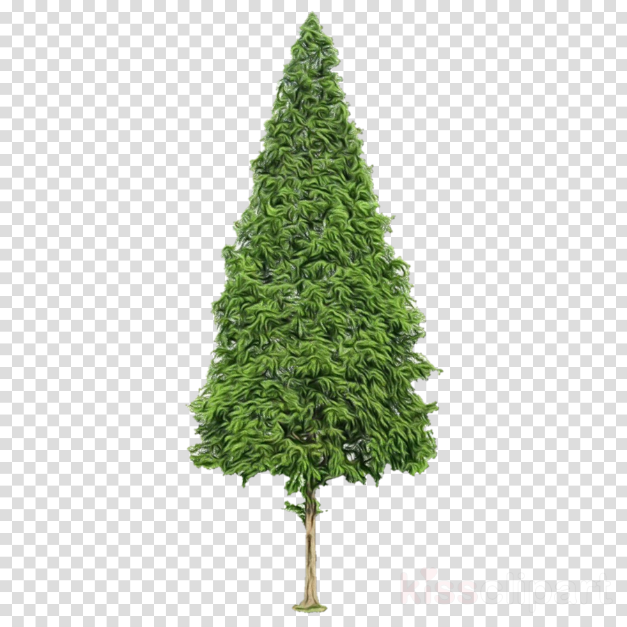 shortleaf black spruce yellow fir tree oregon pine plant