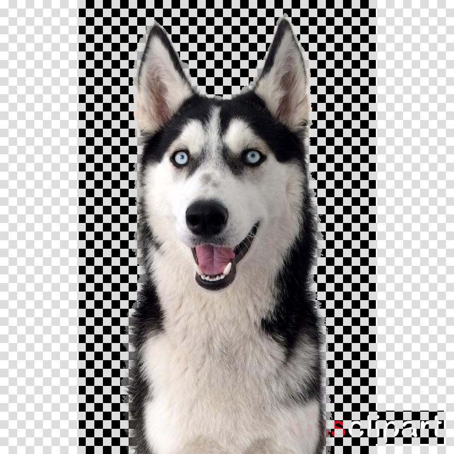 dog siberian husky dog breed alaskan malamute sakhalin husky