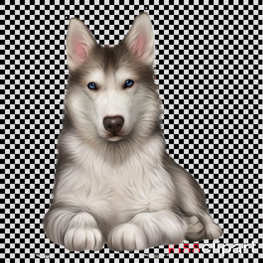 dog siberian husky dog breed alaskan malamute snout