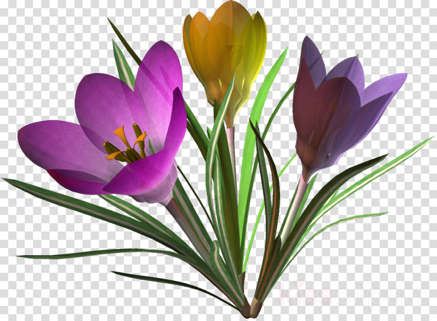 Картинка весенние цветочки на прозрачном фоне