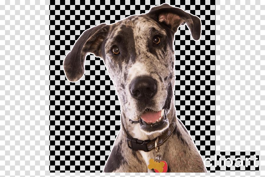 dog dog breed greyhound great dane snout