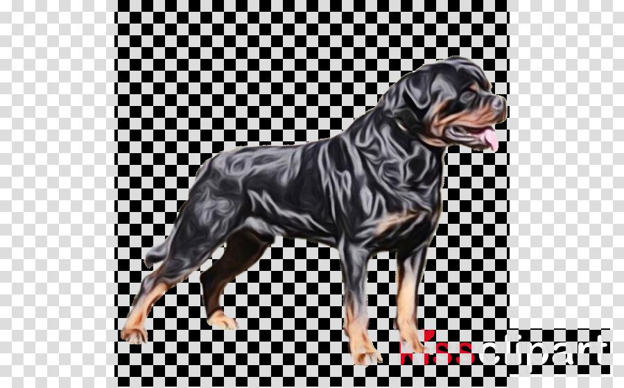dog dog breed rottweiler working dog molosser
