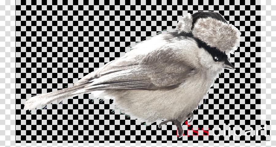 black capped chickadee bird carolina chickadee chickadee beak