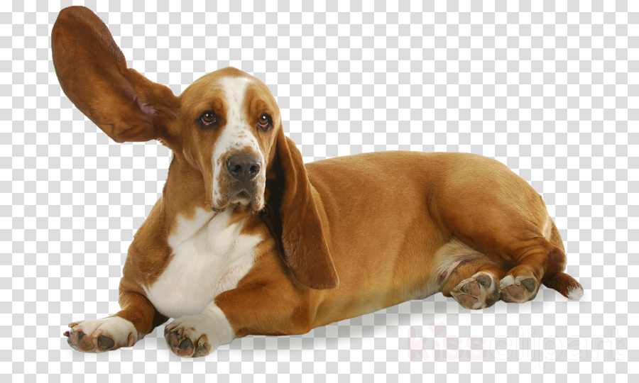 dog dog breed basset hound basset artésien normand hound clipart - Dog, Dog  Breed, Basset Hound, transparent clip art