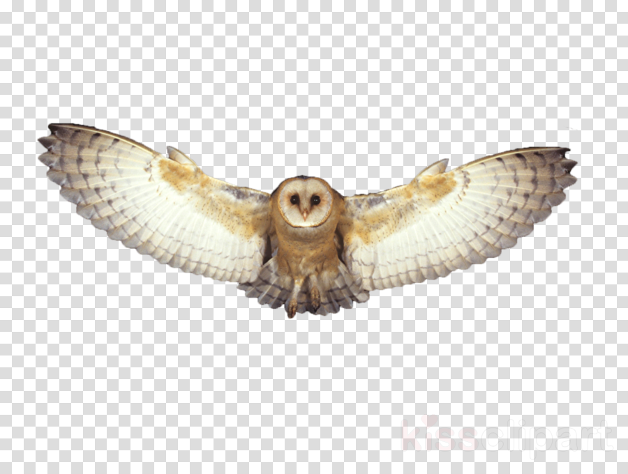 owl barn owl bird of prey bird wing