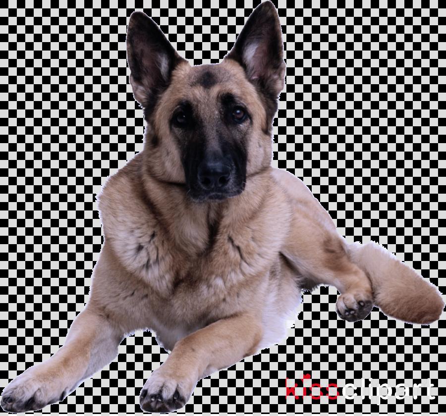 dog dog breed german shepherd dog king shepherd snout