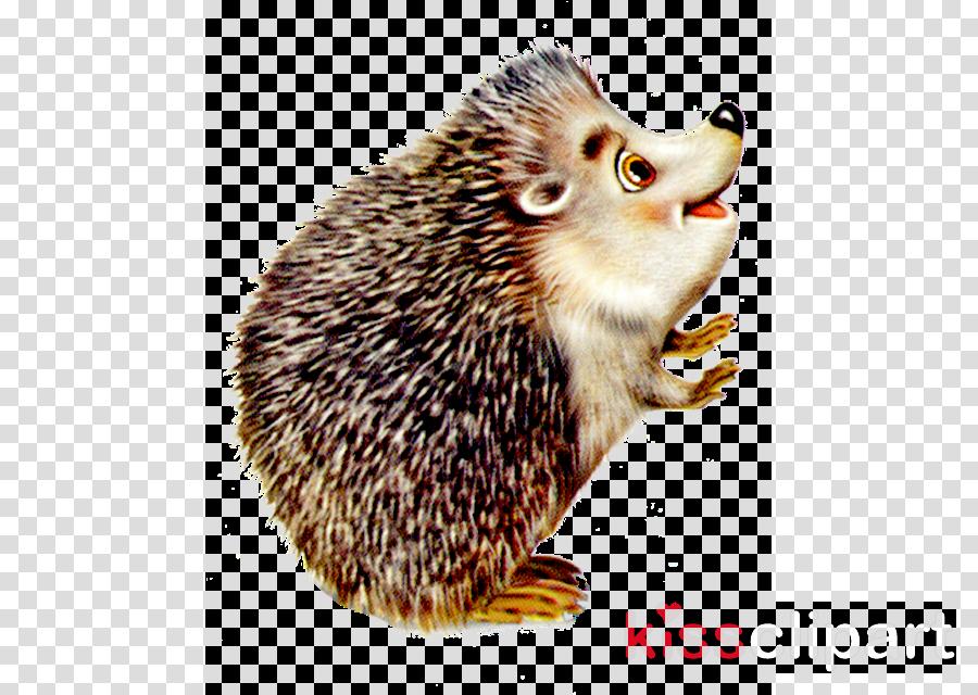hedgehog erinaceidae porcupine domesticated hedgehog new world porcupine