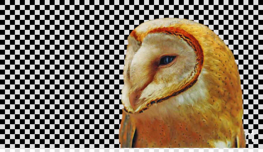 barn owl bird beak bird of prey owl