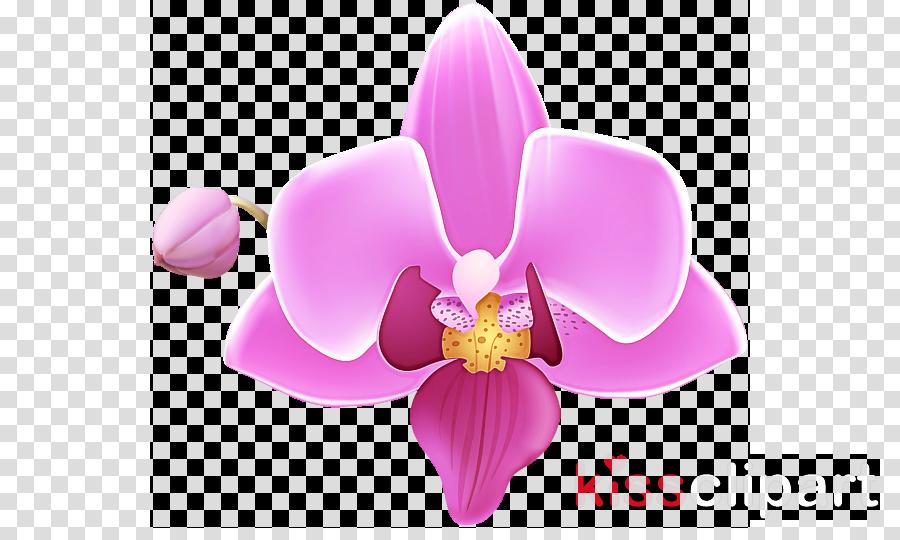 flower petal pink moth orchid plant