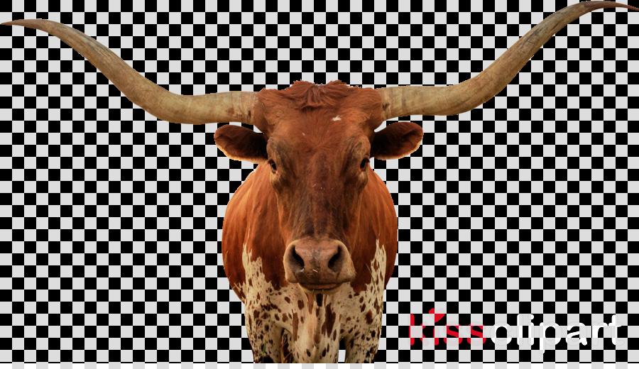 Horn Texas Longhorn Terrestrial Animal Bovine Animal Figure Clipart Horn Texas Longhorn Terrestrial Animal Transparent Clip Art