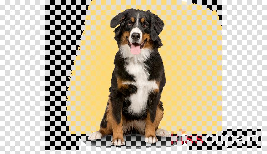 dog dog breed bernese mountain dog puppy companion dog