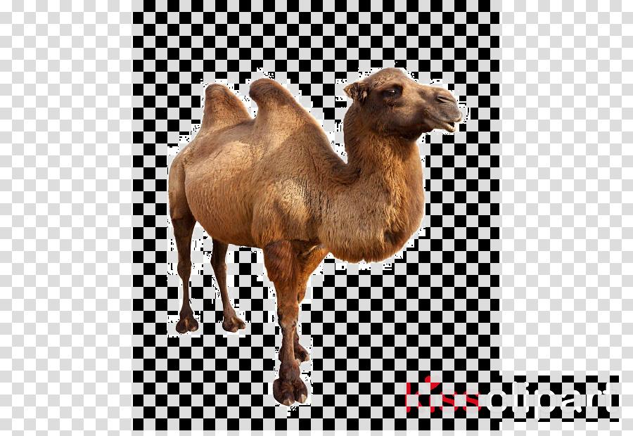 camel camelid arabian camel bactrian camel terrestrial animal