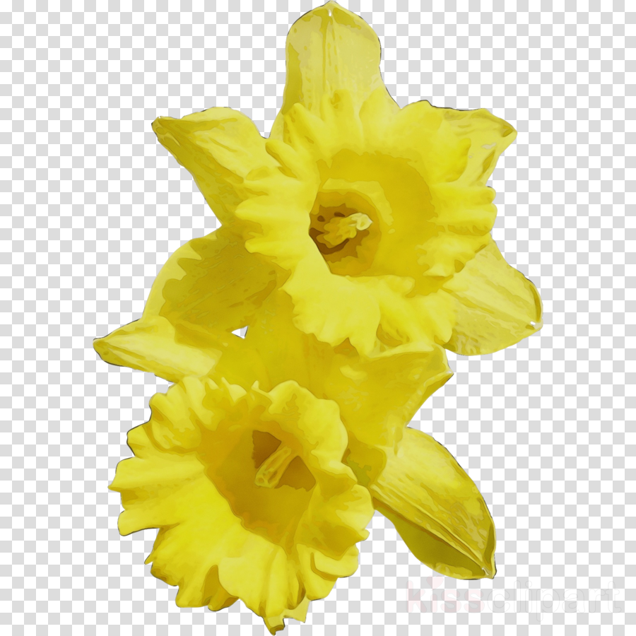 yellow flower narcissus plant petal
