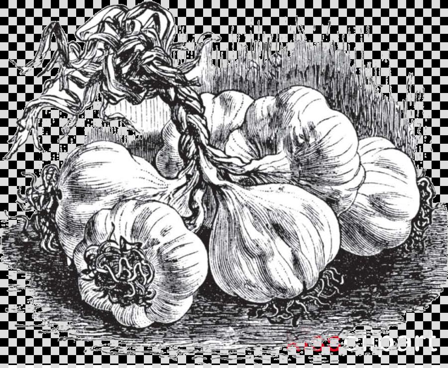 Drawing Plant Vegetable Sketch Still Life Clipart Drawing Plant Vegetable Transparent Clip Art