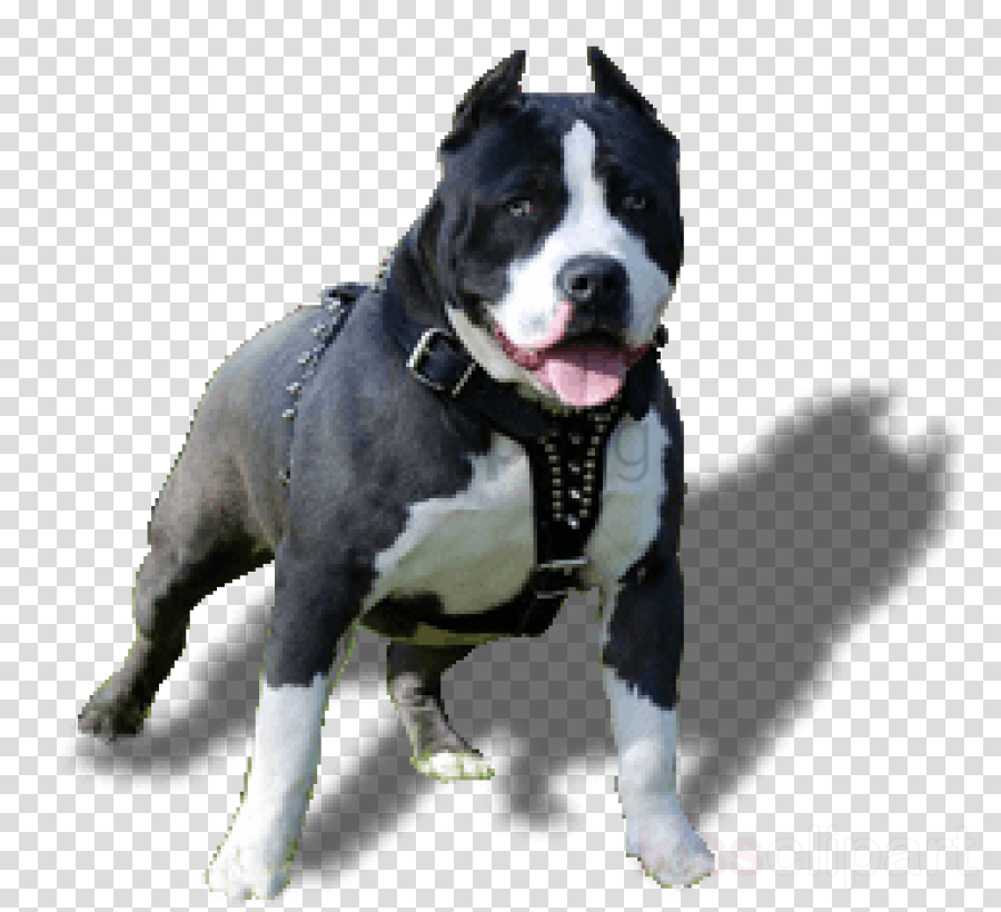 dog dog breed american pit bull terrier american staffordshire terrier staffordshire bull terrier