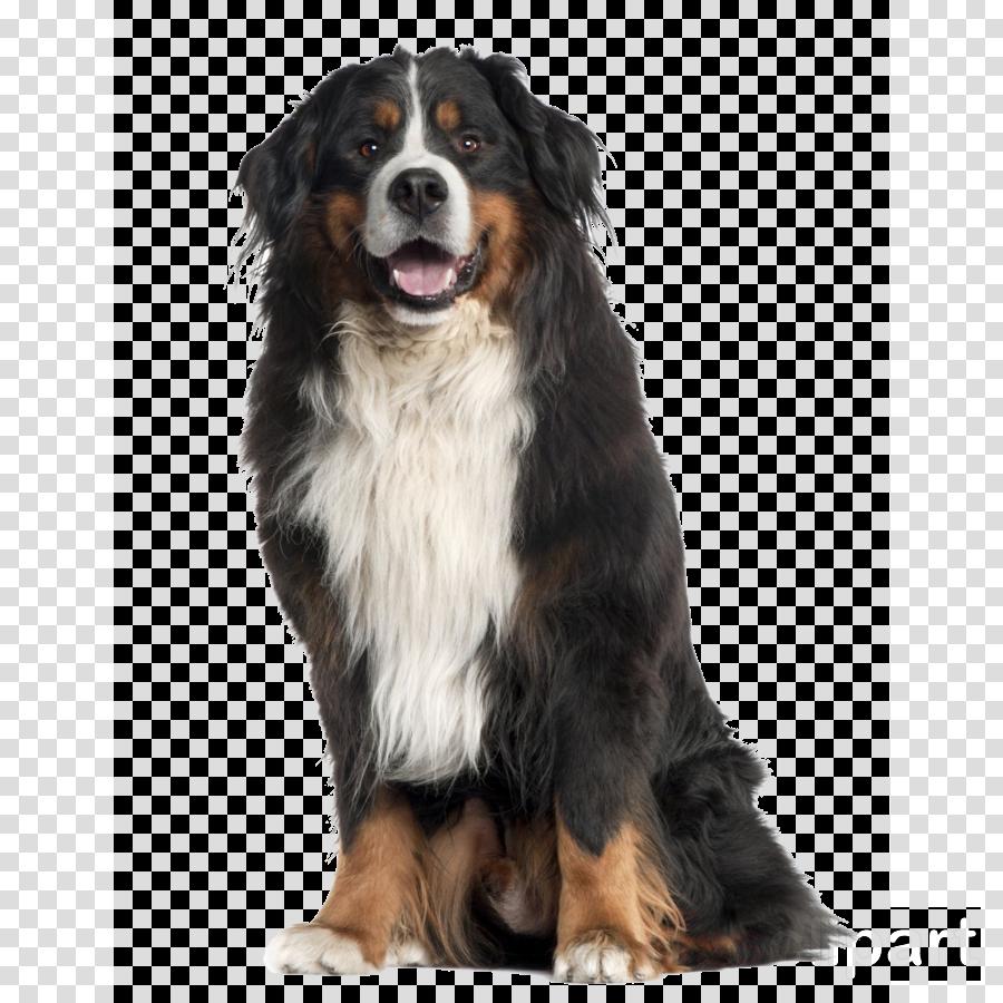 dog dog breed bernese mountain dog giant dog breed companion dog