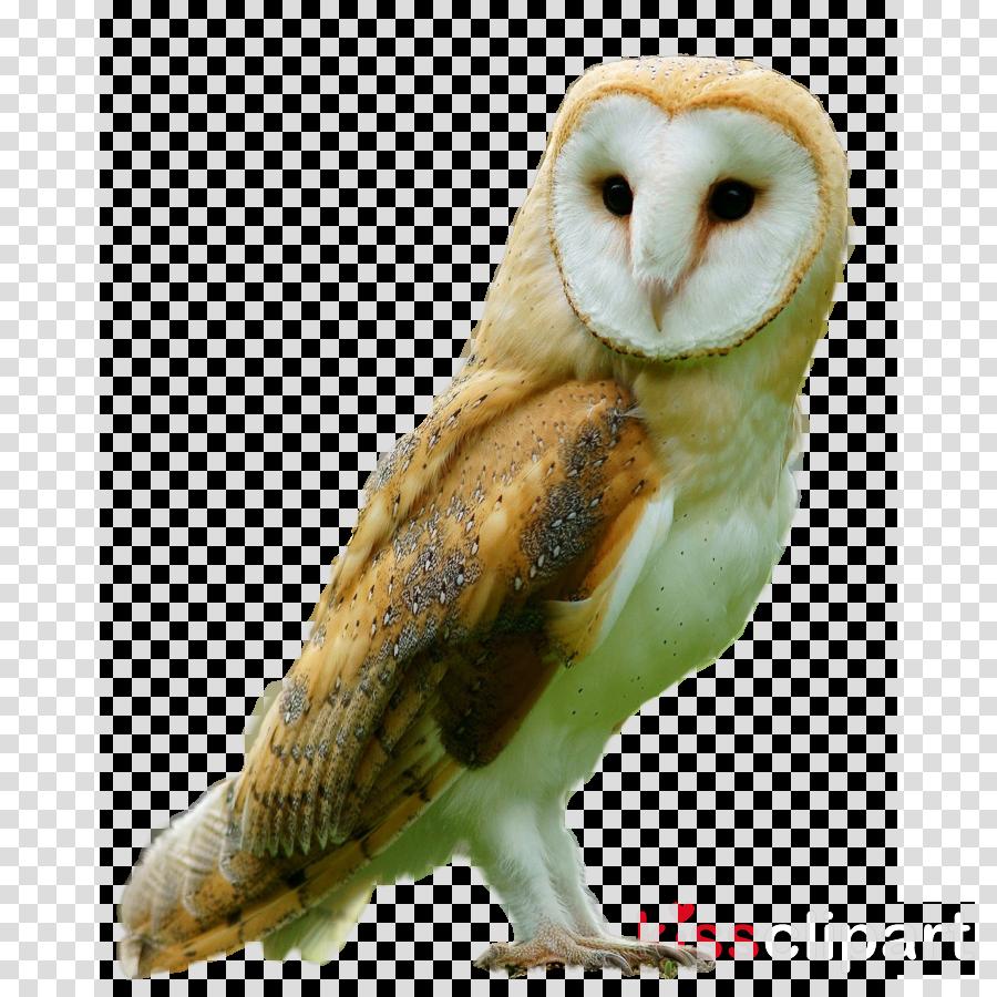barn owl bird owl bird of prey beak