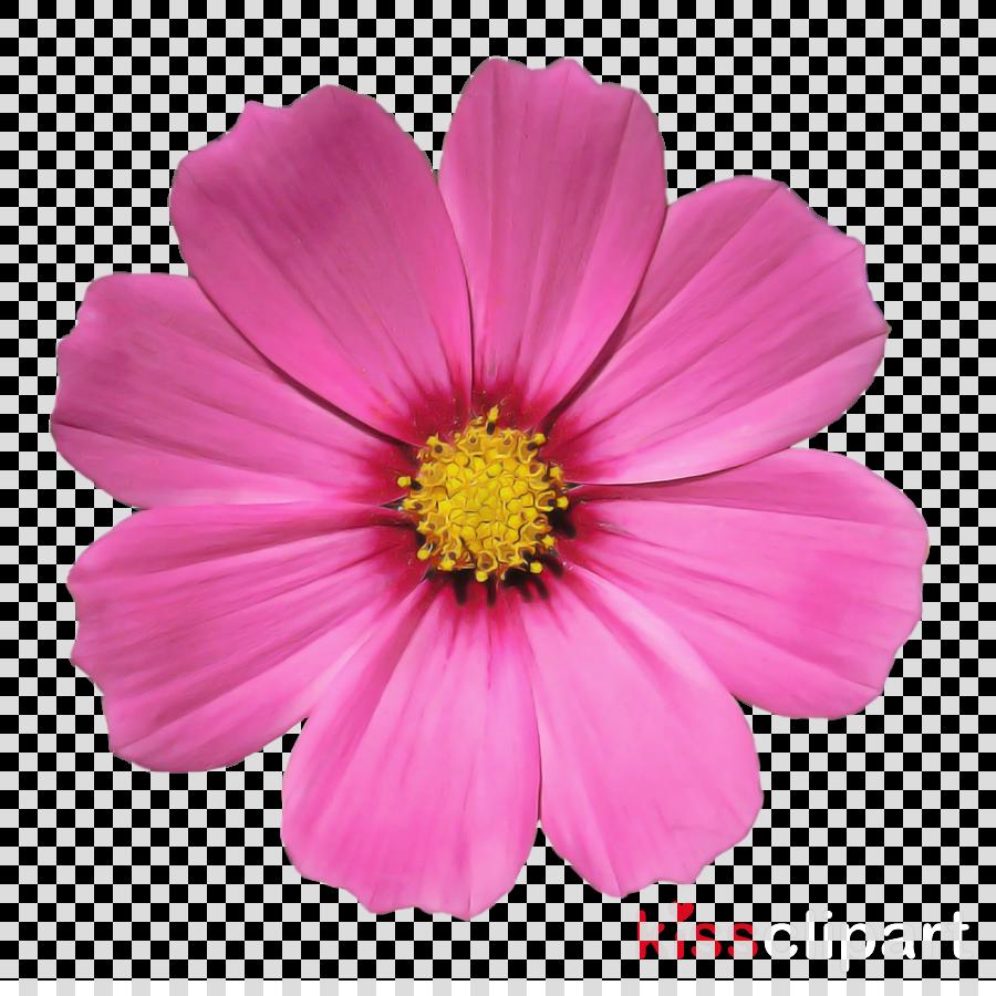 flower flowering plant petal cosmos pink