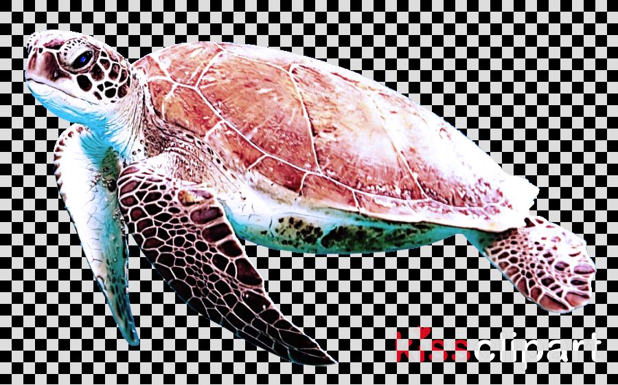 sea turtle hawksbill sea turtle olive ridley sea turtle loggerhead sea turtle green sea turtle