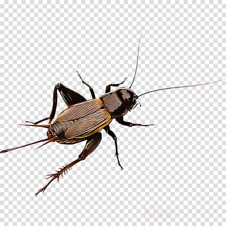 insect pest cockroach beetle stable fly