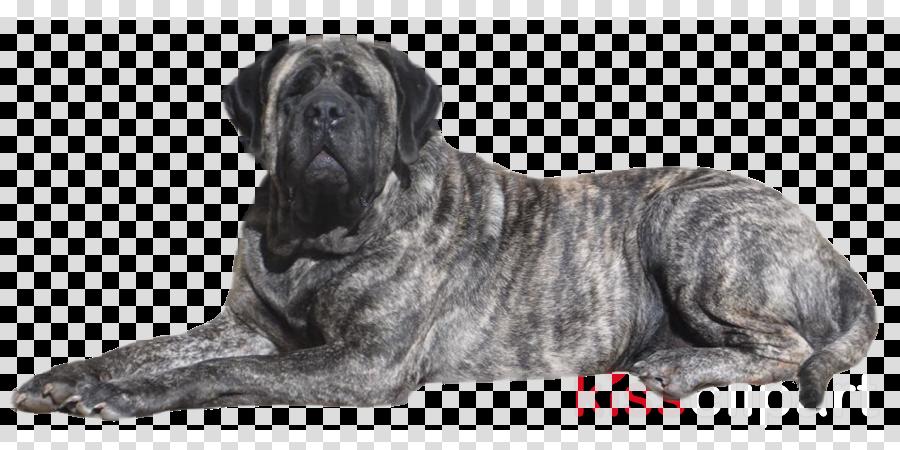 dog english mastiff bullmastiff american mastiff giant dog breed