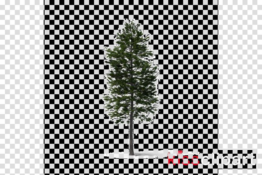 tree white pine balsam fir yellow fir shortleaf black spruce