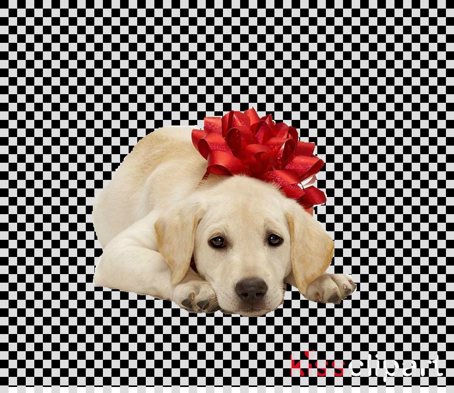 dog white golden retriever puppy retriever