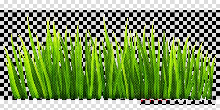 green grass wheatgrass plant grass family