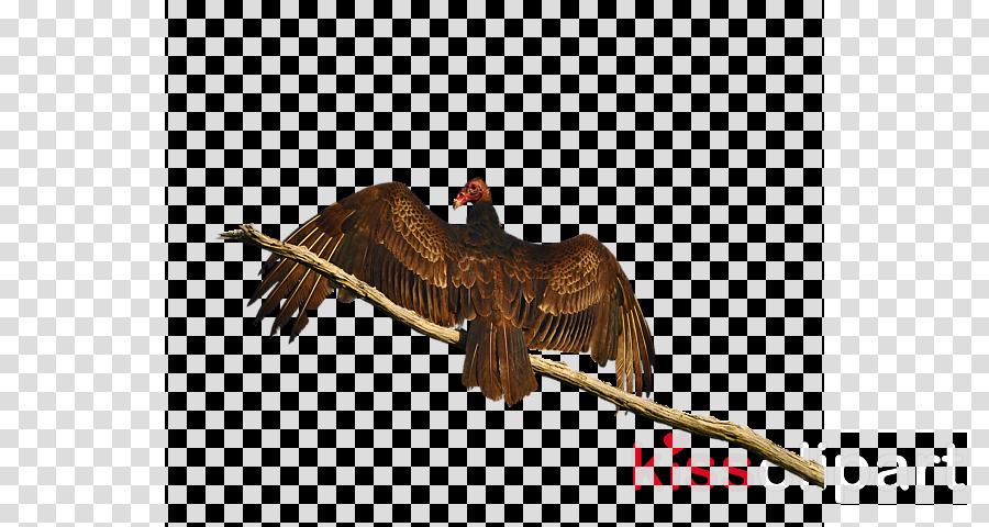bird turkey vulture kite beak bird of prey