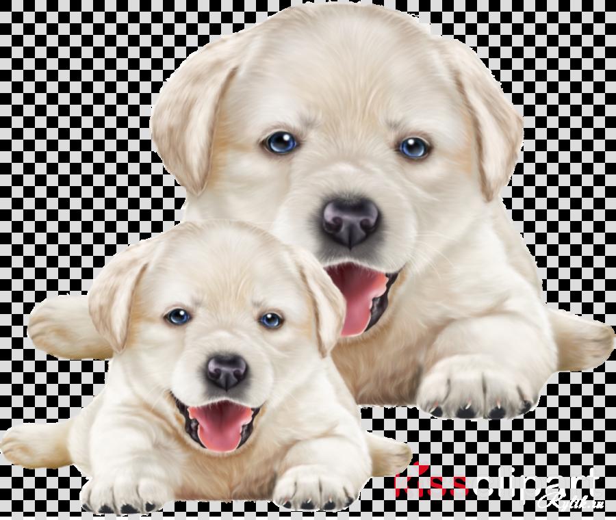 dog labrador retriever puppy retriever white