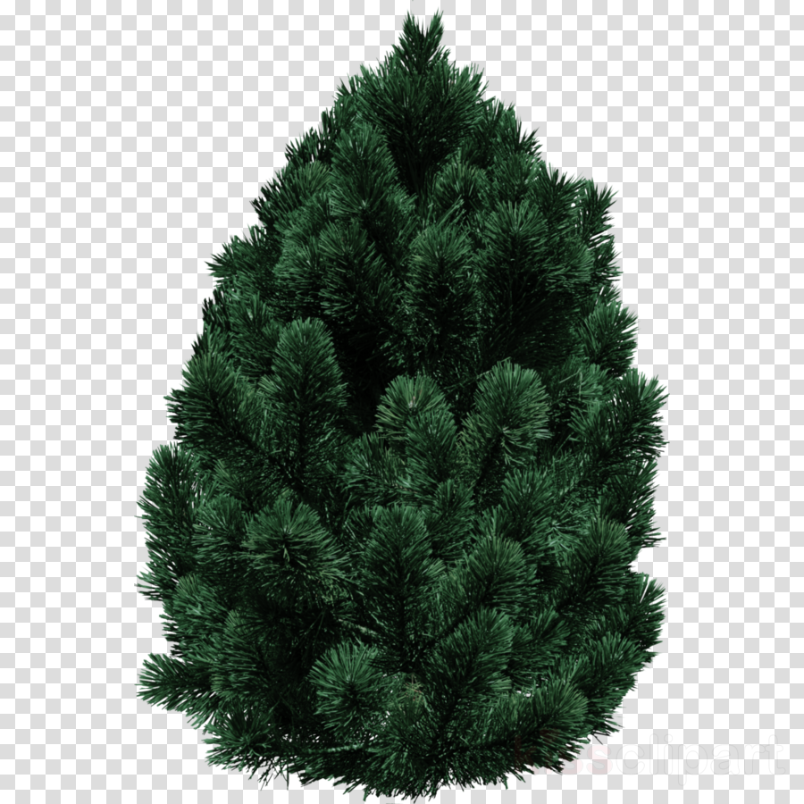 shortleaf black spruce columbian spruce balsam fir white pine tree