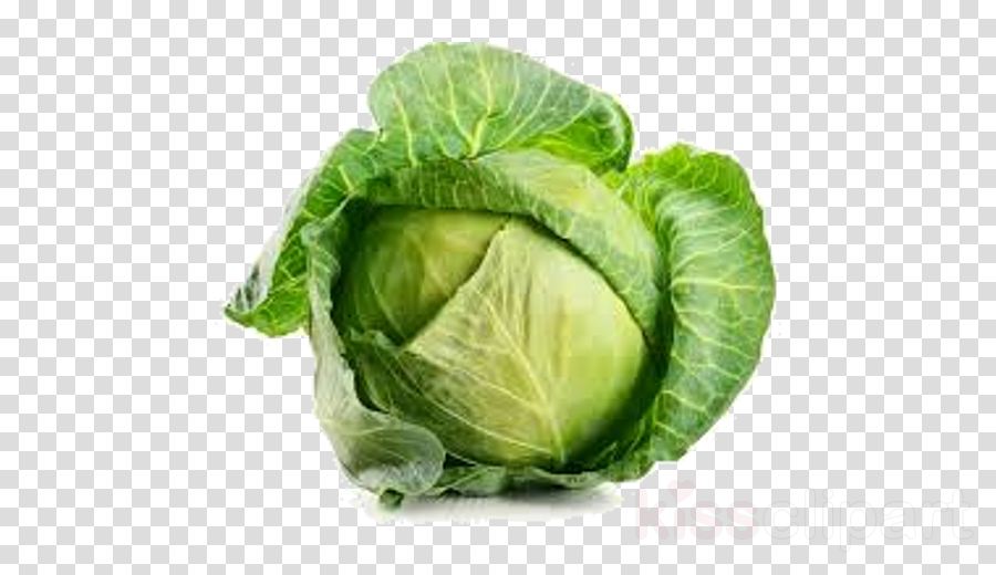 cabbage vegetable leaf vegetable savoy cabbage iceburg lettuce