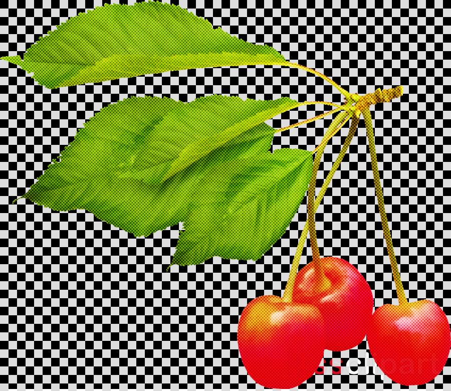 leaf cherry plant flower fruit