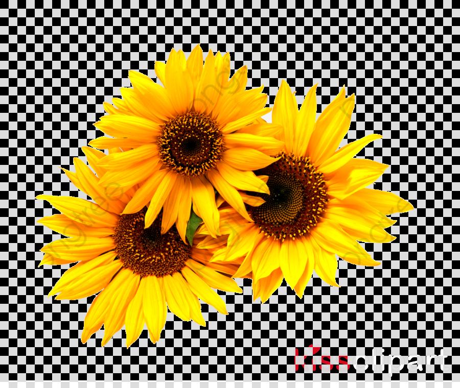 Sunflower clipart - Flower, Sunflower, Yellow, transparent ...