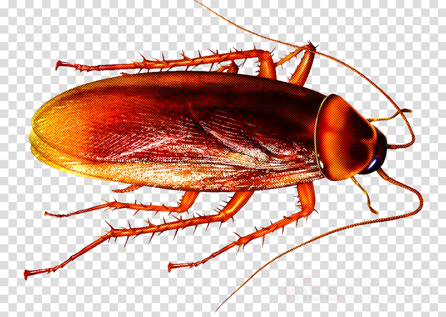 insect cockroach pest oriental cockroach ground beetle