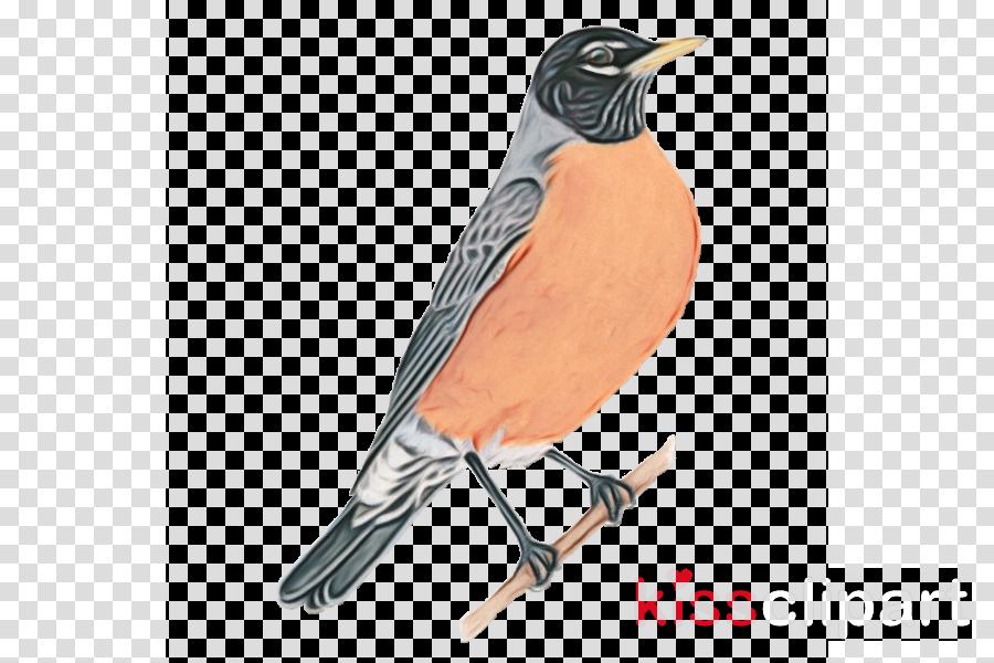 bird beak robin songbird perching bird