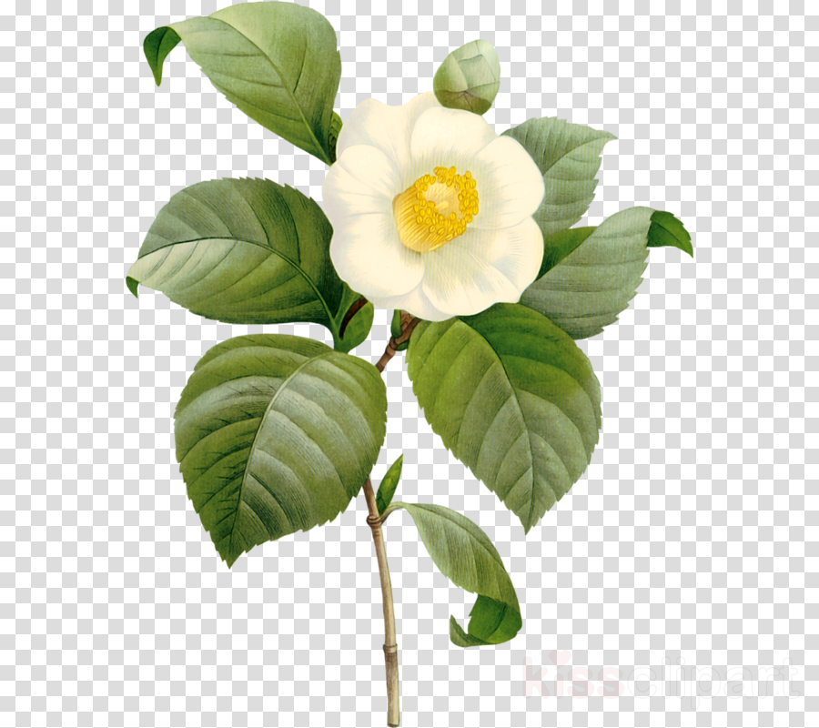 flower plant leaf petal franklin tree