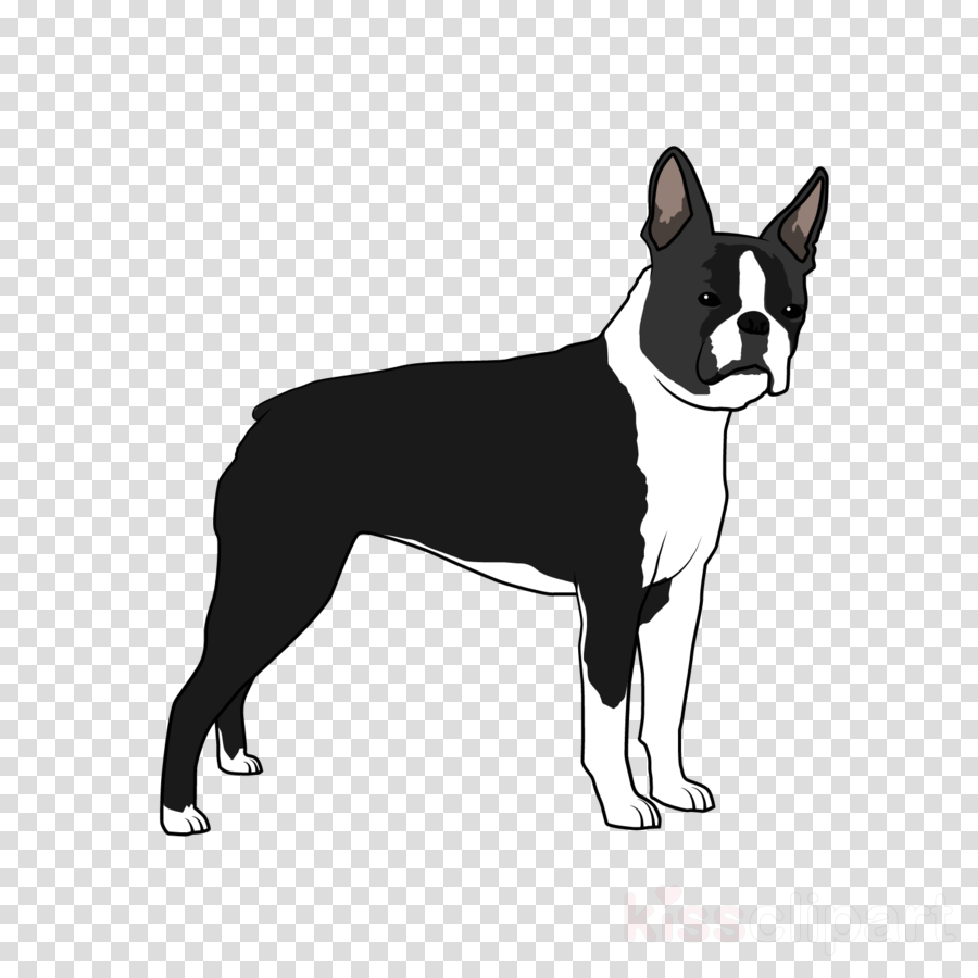 dog boston terrier snout non-sporting group bull and terrier
